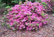 Azalia japońska (Rhododendron molle)