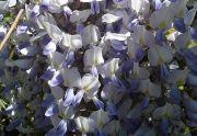 Glicynia kwiecista (Wisteria floribunda)