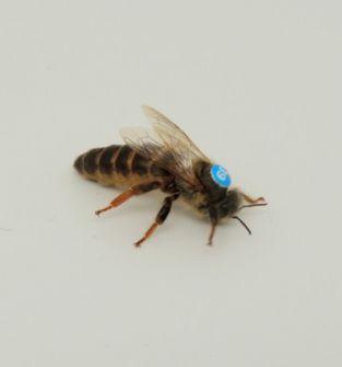 Matka pszczela nieunasienniona