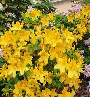 Azalia pontyjska (Rhododendron luteum)