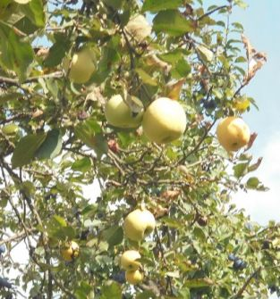 jabłko Antonówka