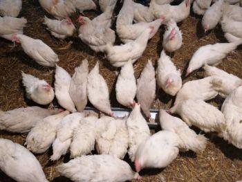 Młode kury Sandy z jajkiem