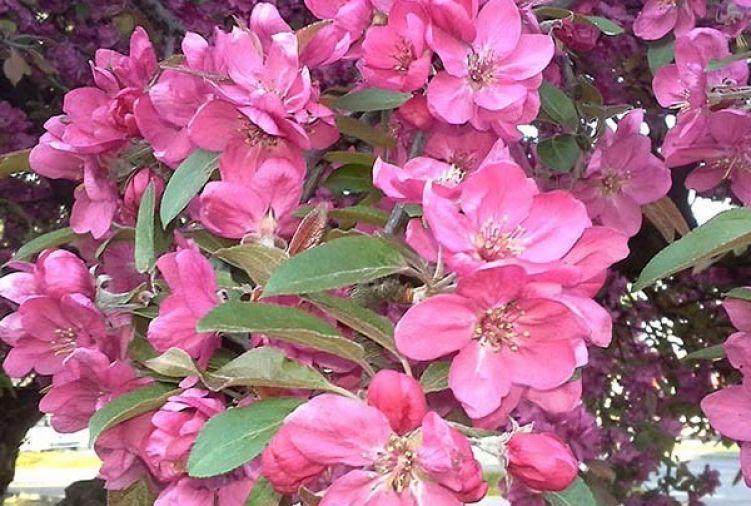 Jabłoń 'Royalty' (Malus 'Royalty')