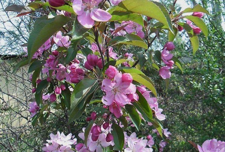Jabłoń ozdobna 'Ola' (Malus 'Ola')